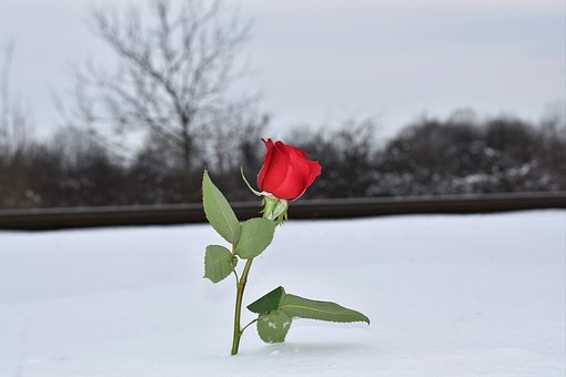 red-rose-in-snow-3183721__340